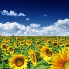 Reisen in die Ukraine Sonnenblumen
